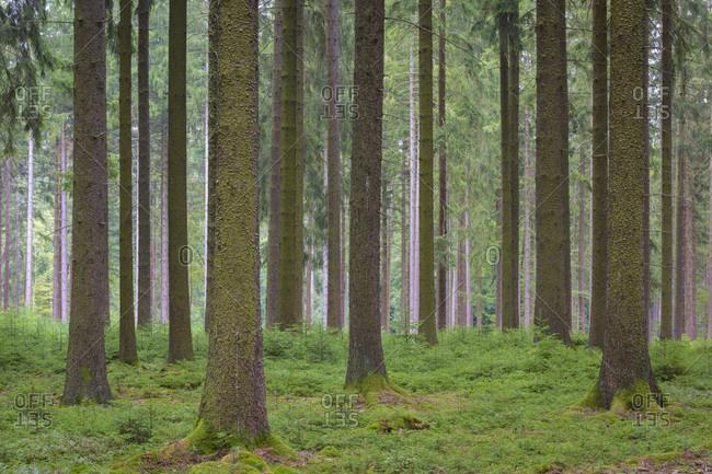 Spruce Forest, Natural Regeneration, Odenwald, Hesse, Germany