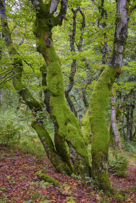 Mossy Beech Tree, Vosges, Alsace, France