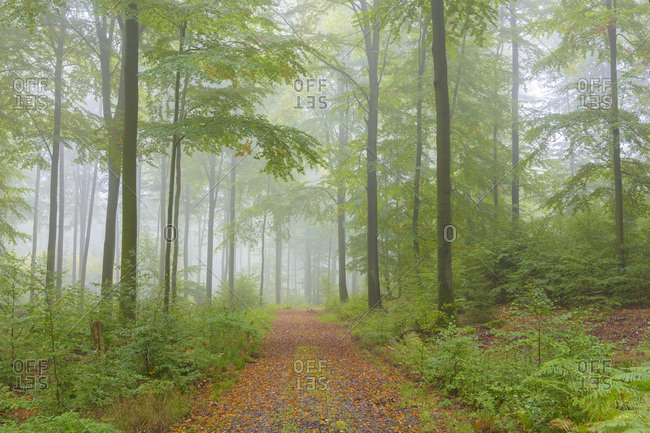 Path in Beech Forest on Misty Morning in Autumn, Nature Park, Spessart, Bavaria, Germany