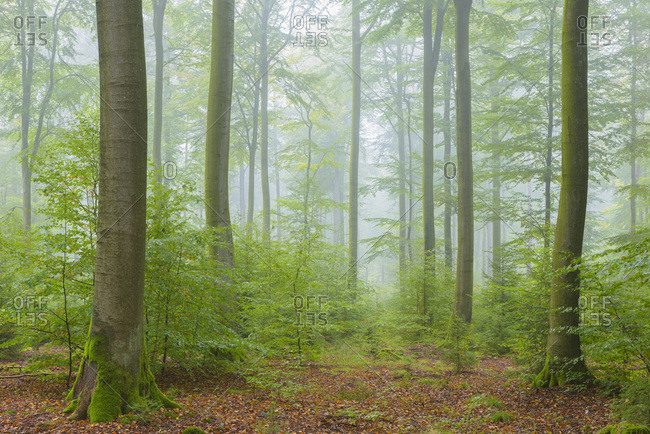 Beech Forest on Misty Morning in Autumn, Nature Park, Spessart, Bavaria, Germany