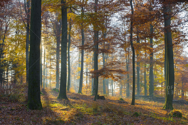 European Beech (Fagus sylvatica) Forest in Autumn, Spessart, Bavaria, Germany