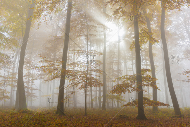 Sunbeams in European Beech (Fagus sylvatica) Forest in Autumn, Spessart, Bavaria, Germany