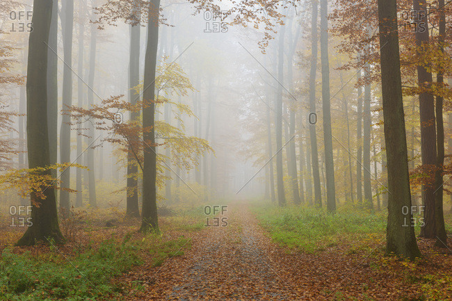 Path through Misty European Beech (Fagus sylvatica) Forest in Autumn, Spessart, Bavaria, Germany