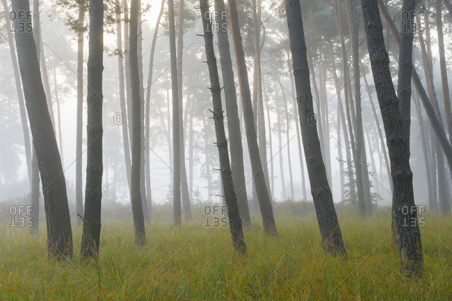 Silhouetted tree trunks of pine forest on misty morning in autumn in Hesse, Germany