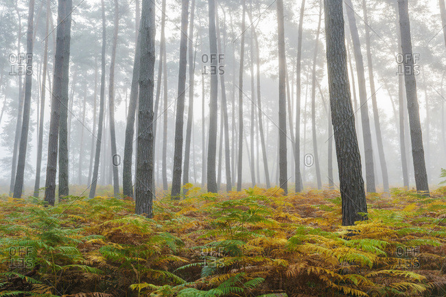 Pine forest on misty morning in autumn in Hesse, Germany