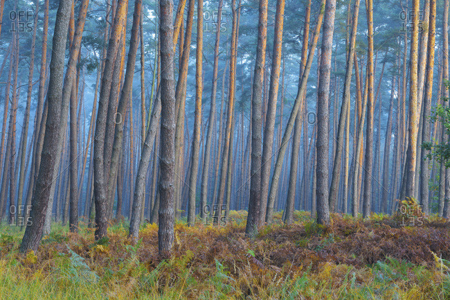 Sunlight reflecting on tree trunks of pine forest on a misty morning in autumn in Hesse, Germany