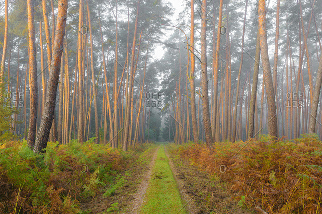 Path through pine forest on misty, sunlit morning in autumn in Hesse, Germany