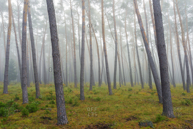 Tree trunks of a pine forest on a misty morning in autumn in Hesse, Germany