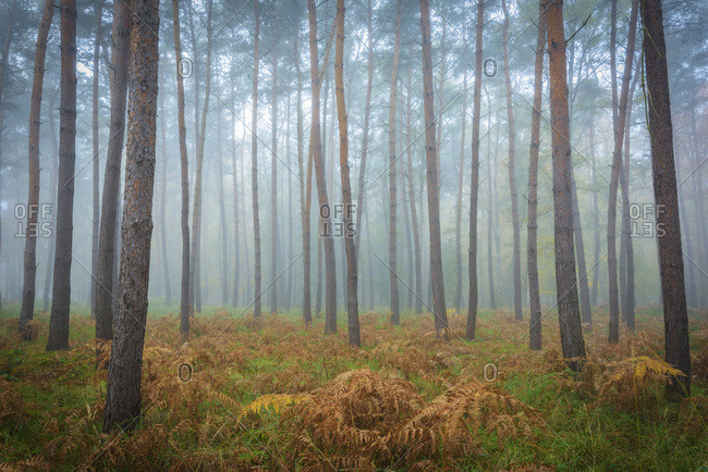 Tree trunks in a pine forest on a misty morning in autumn in Hesse, Germany