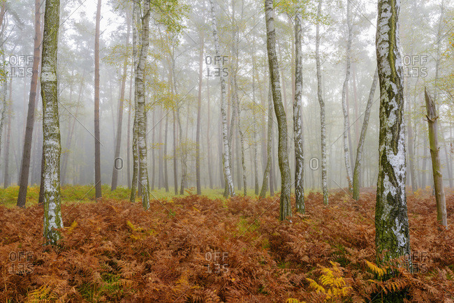 Tree trunks in a birch forest in autumn in Hesse, Germany