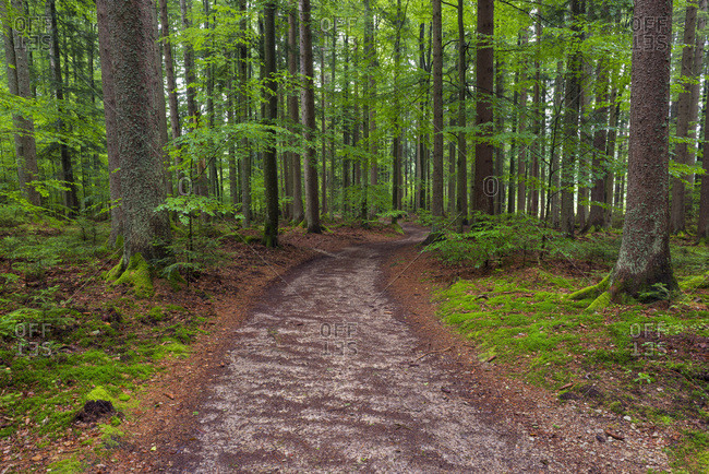 Trail through forest after rain at Spiegelau in the Bavarian Forest National Park in Bavaria, Germany