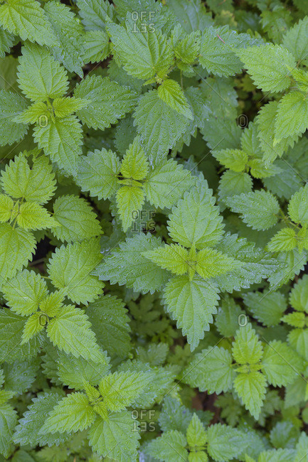Close-up of stinging nettle (Urtica dioica) at Neuschoenau in the Bavarian Forest National Park in Bavaria, Germany