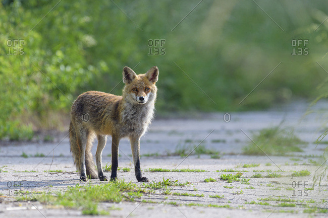 Portrait of red fox (Vulpes vulpes) standing on road looking at camera in Summer in Hesse, Germany