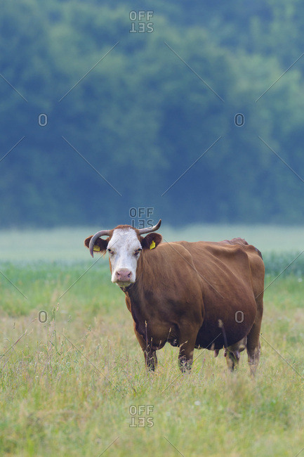 Portrait of cow standing in meadow looking at camera in Hesse, Germany