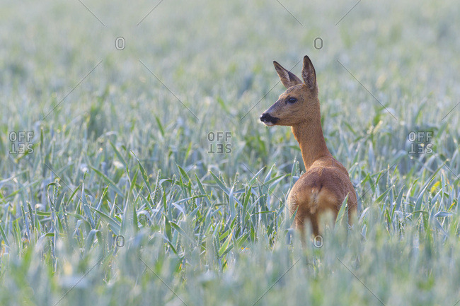 Female, western roe deer (Capreolus capreolus) standing in cornfield looking into the distance in Hesse, Germany