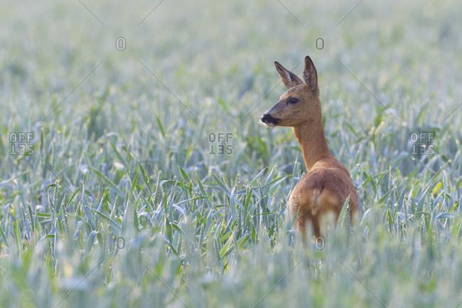 Female, western roe deer (Capreolus capreolus) standing in cornfield looking into the distance in Hesse, Germany