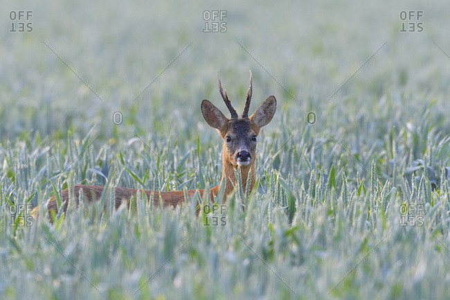 Portrait of western roe deer (Capreolus capreolus), roebuck, with head sticking up from cornfield and looking at camera in Hesse, Germany