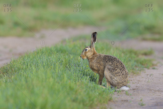 Profile portrait of European brown hare (Lepus europaeus) standing in field in summer in Hesse, Germany