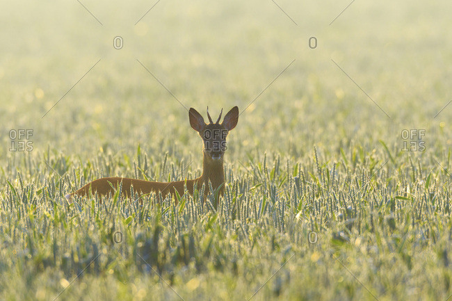 Backlit portrait of western roe deer (Capreolus capreolus), roebuck, with head sticking up from cornfield and looking at camera on a sunny morning in Hesse, Germany