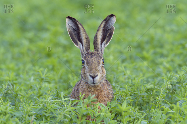 Portrait of a European brown hare (Lepus europaeus) with head sticking up from meadow and looking at camera in summer in Hesse, Germany