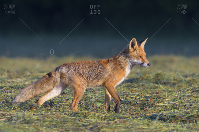 Profile portrait of a red fox (Vulpes vulpes) standing on a mowed meadow in Hesse, Germany