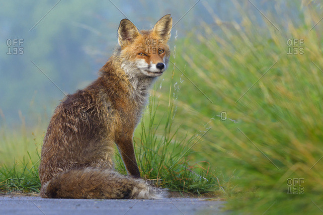 Portrait of red fox (Vulpes vulpes) sitting in the grass looking suspiciously at the camera in Summer in Hesse, Germany