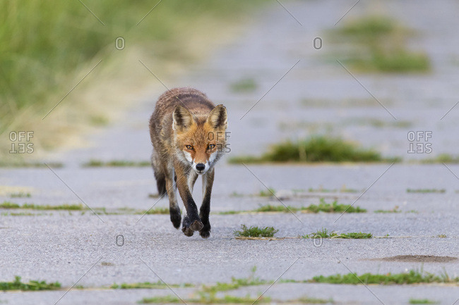 Front view of a red fox (Vulpes vulpes) walking on a road towards camera in Summer in Hesse, Germany