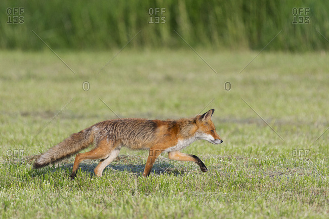 Red fox (Vulpes vulpes) walking stealthily on a mowed meadow in Hesse, Germany