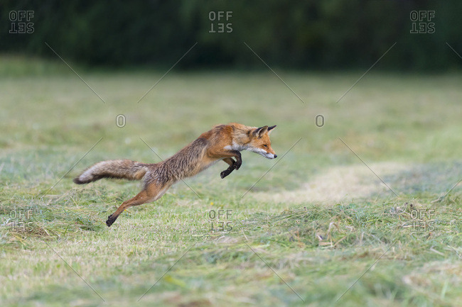 Profile of red fox (Vulpes vulpes) jumping up in the air on a mowed meadow in Hesse, Germany