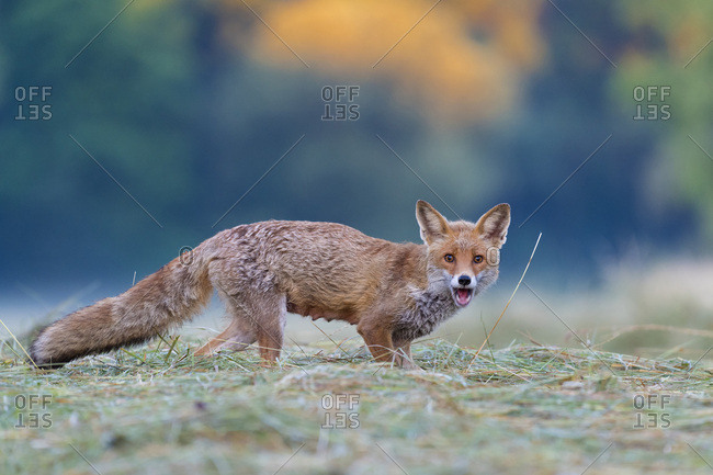 Portrait of red fox (Vulpes vulpes) standing on a mowed meadow looking at camera and screaming in Hesse, Germany