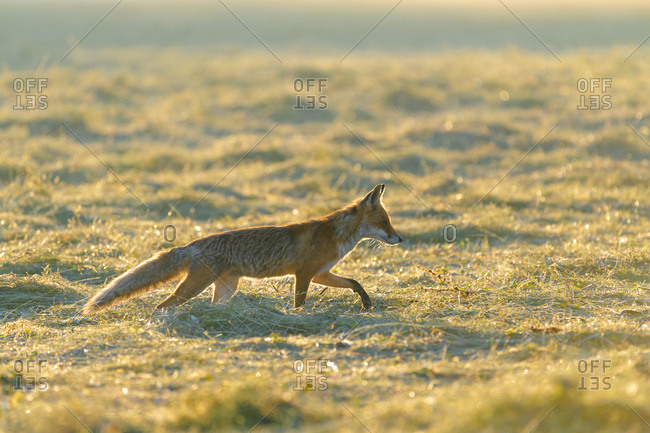 Backlit red fox (Vulpes vulpes) walking on a mowed meadow at sunrise in Hesse, Germany
