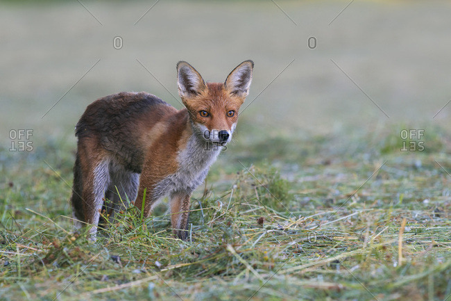 Portrait of red fox (Vulpes vulpes) standing on a mowed meadow looking intensely forward in Hesse, Germany
