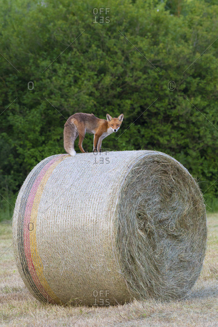 Red fox (Vulpes vulpes) standing on top of a hay bale and looking at camera in Hesse, Germany