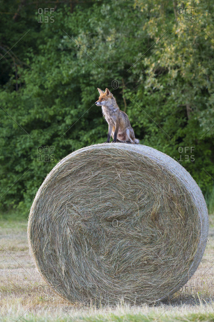 Red fox (Vulpes vulpes) sitting on top of a hay bale looking into the distance in Hesse, Germany