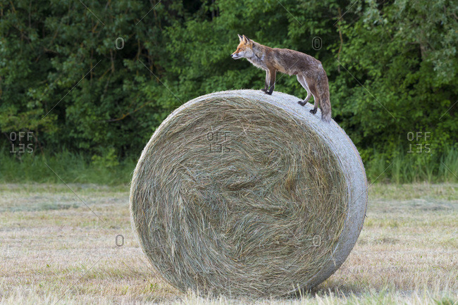 Profile of a red fox (Vulpes vulpes) standing on top of a hay bale looking into the distance in Hesse, Germany