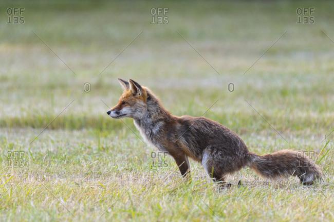 Red fox (Vulpes vulpes) defecating in meadow in Hesse, Germany