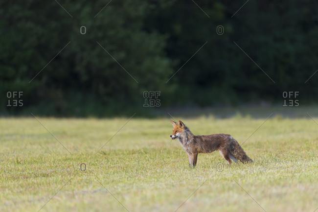Side view of a red fox (Vulpes vulpes) standing on a mowed meadow looking into the distance in Hesse, Germany