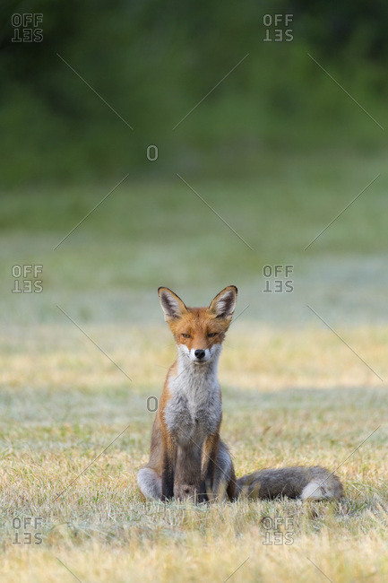 Portrait of a red fox (Vulpes vulpes) sitting on mowed meadow looking at camera in Summer in Hesse, Germany