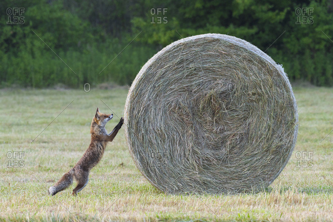 Red fox (Vulpes vulpes) standing on hind legs looking up at hay bale in mown meadow in Summer in Hesse, Germany