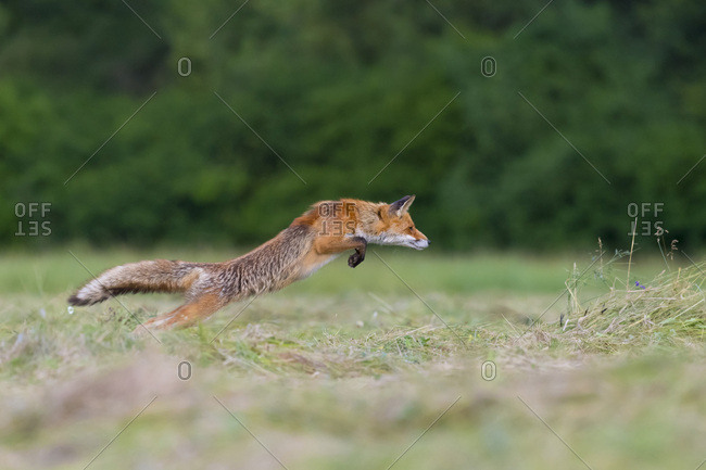 Profile of red fox (Vulpes vulpes) leaping through the air over a mowed meadow in Hesse, Germany