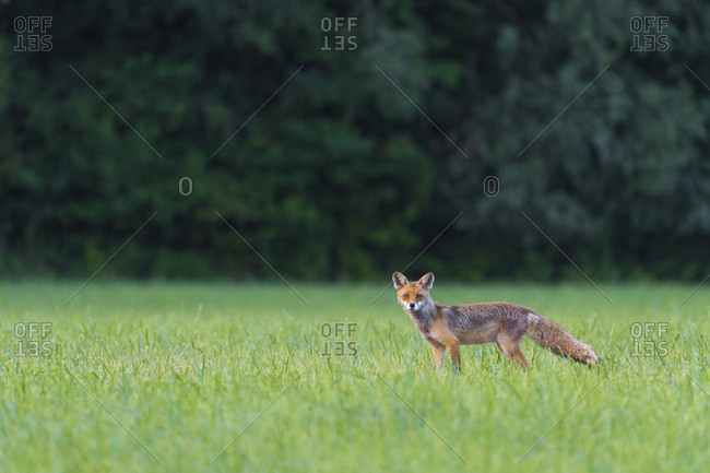 Portrait of red fox (Vulpes vulpes) looking at camera on a grassy meadow in summer, Hesse, Germany
