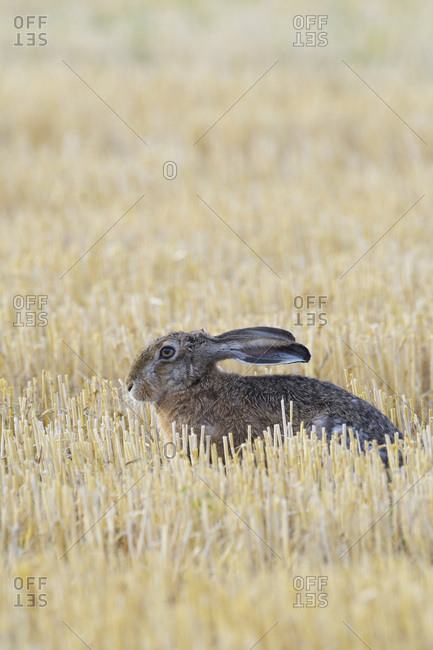 Profile portrait of a European brown hare (Lepus europaeus) sitting in a stubble field in Hesse, Germany
