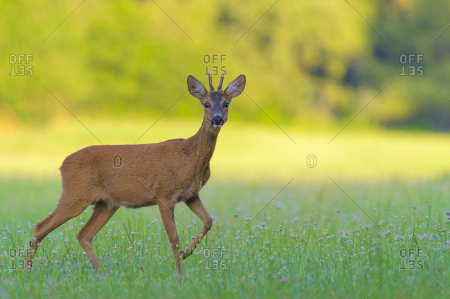 Portrait of a western roe deer (Capreolus capreolus) roebuck standing in grassy field in summer in Hesse, Germany