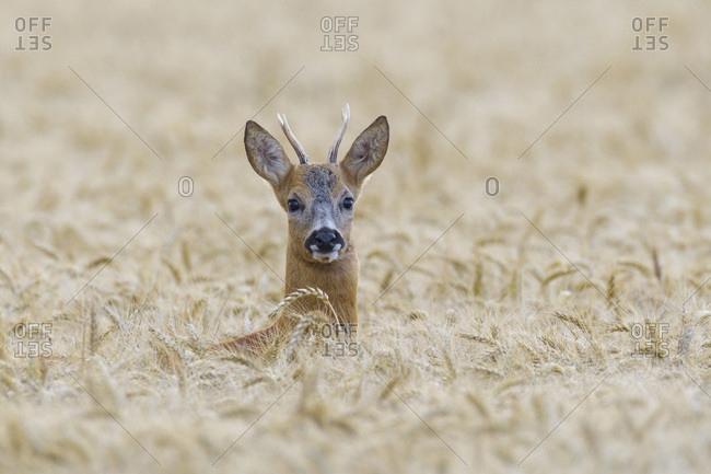 Close-up portrait of a western roe deer (Capreolus capreolus) roebuck peeking up in grain field in Hesse, Germany