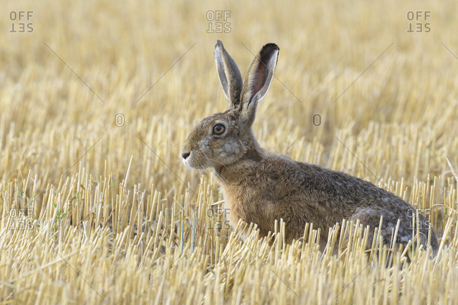 Close-up, profile portrait of a European brown hare (Lepus europaeus) sitting in a stubble field in Hesse, Germany