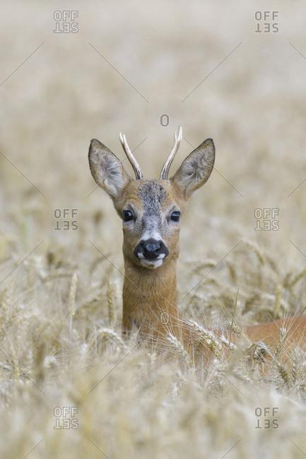 Close-up portrait of roebuck, western roe deer (Capreolus capreolus) peeking up in in grain field and looking at camera in Hesse, Germany