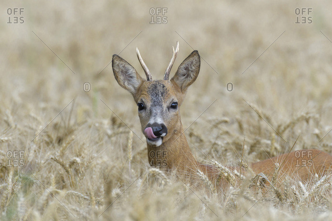 Close-up portrait of roebuck, western roe deer (Capreolus capreolus) peeking up in grain field and licking his lips in Hesse, Germany