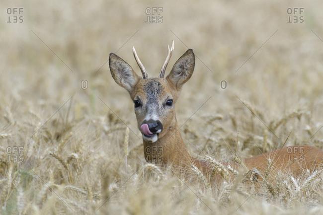 Close-up portrait of roebuck, western roe deer (Capreolus capreolus) peeking up in grain field and licking his lips in Hesse, Germany