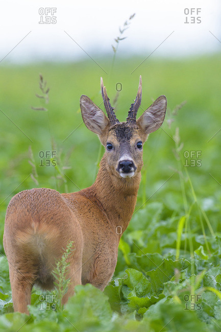 Close-up portrait of roebuck, western roe deer (Capreolus capreolus) standing in field in summer in Hesse, Germany