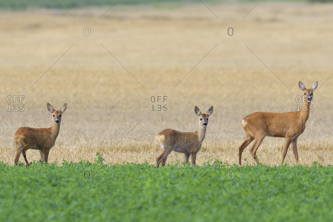 Western Roe deers (Capreolus capreolus), Female with fawns standing in a field looking at camera in Hesse, Germany